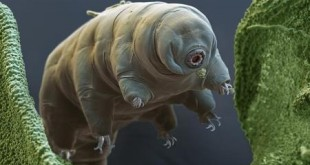water-bear-or-tardigrade-eye-of-science