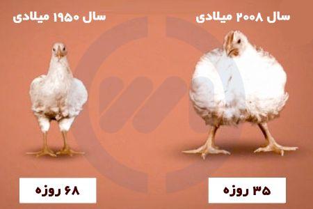 مرغ ماشینی و مرغ محلی
