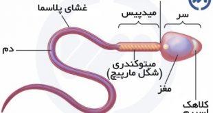 قسمتهای مختلف اسپرم