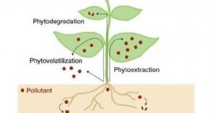 گیاه پالایی